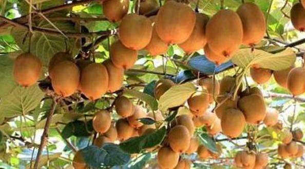 猕猴桃清热降火、润肠通便,农民掌握病害防治,收获高产猕猴桃