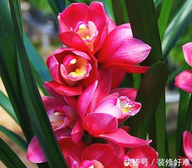 """被誉为兰花""""第一""""红素,花色艳丽又浪漫,香味超浓,美丽又好养"""