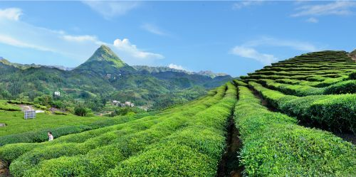 丰顺推动高山茶产业转型升级实现一二三产业融合发展