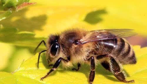 『影响』如果蜜蜂从地球上消失,对人类的影响有多大?说出来你不相信