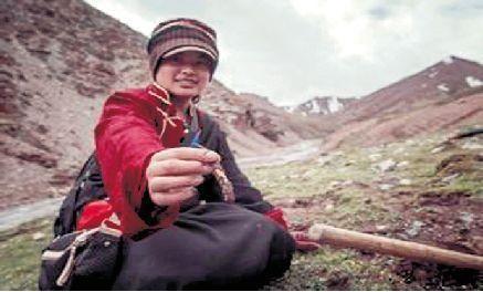 西藏的传奇冬虫夏草,冬虫夏草并不神奇