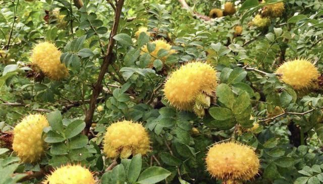 """1种""""野果树""""奇特,黄色的果子长满""""刺"""",以往常去摘,珍贵!"""