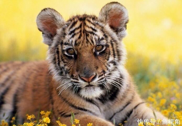 <b>还能回归吗?华南虎疑似野外灭绝,最后一只发现于33年前!</b>