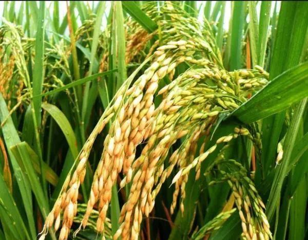 #杂交#春耕在即,你有什么优良的杂交水稻种可以推荐?