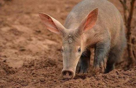 """非洲这种罕见的""""兔猪"""",长相奇特,专门吃白蚁"""