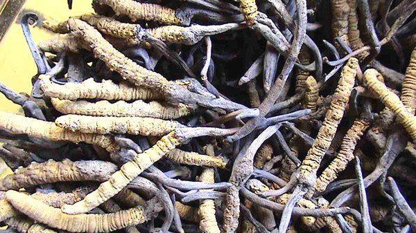 酿酒技术-冬虫夏草酒的制作方法