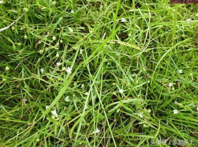 农村路边的小碎花野草,非常不起眼,专家说可抑制肿瘤,抗蛇毒