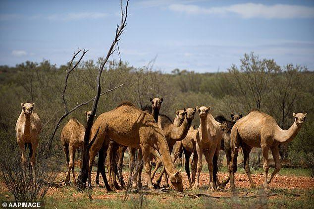 澳大利亚5天内将射杀1万只骆驼!因为它们喝了太多水