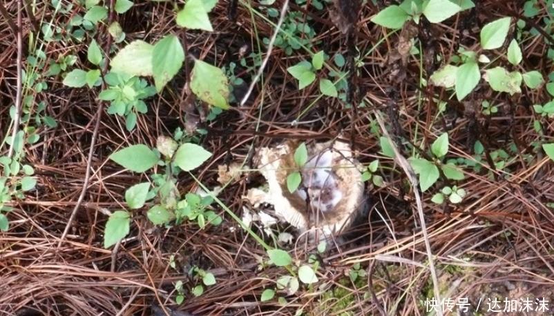 男子山上采蘑菇,意外挖到几个小黑球,带回家后惊喜了