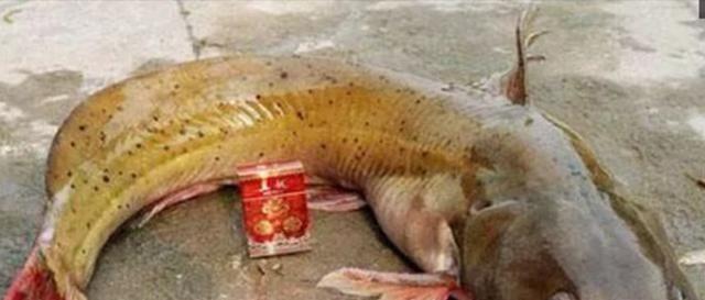 #芝麻剑#此鱼堪称淡水鱼之王,刺少味好肉质鲜美,小孩常吃更聪明!
