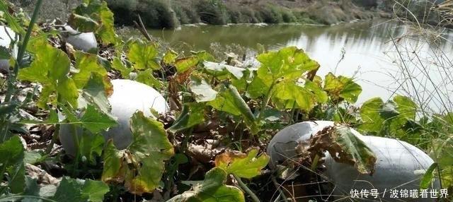 农村田野里,那些被遗弃的冬瓜们