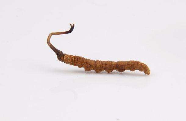 冬虫夏草了不得,从西医视角揭秘其补肾背后的秘密