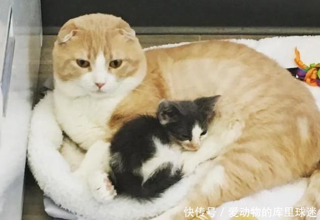 猫咪被兽医救助,为报答救命之恩,帮兽医照顾医院的小动物