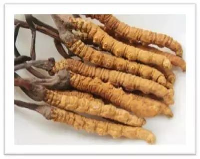 服用冬虫夏草的禁忌(注意事项),吃冬虫夏草这样吃效果才好