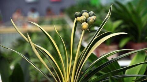 """君子兰是个""""酒坛子"""",1个月灌1次,叶子又宽又绿,开大花"""