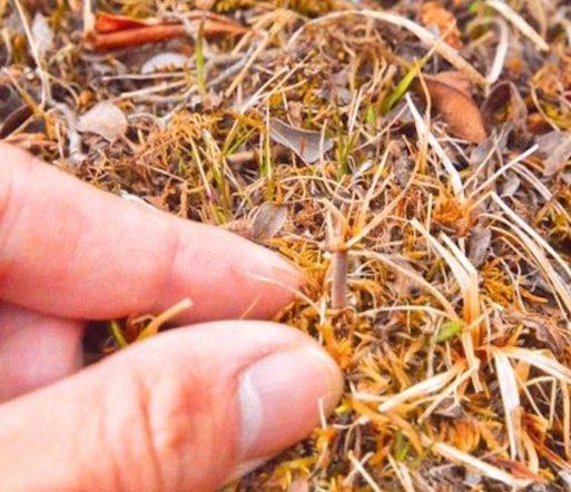 实拍西藏那曲冬虫夏草挖掘过程:一天最多二三十根,甚至空手而归