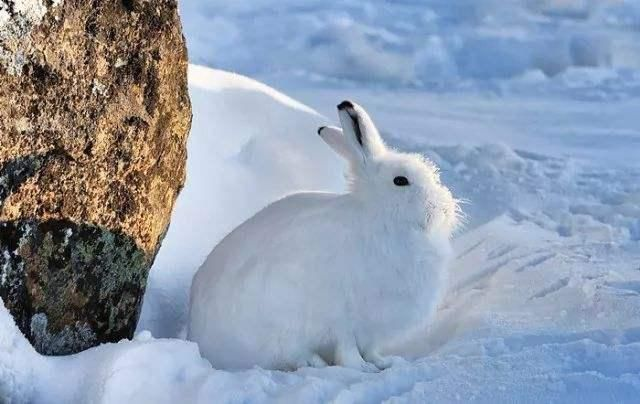圆滚滚北极兔超可爱,站起来后被它吓到:谁说大长腿很性感的