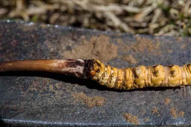 虫草商人究竟有多赚钱?探秘西藏那曲的冬草夏草
