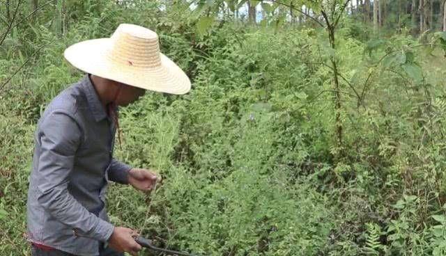 「花椒」农村常见的杂草是小鱼和仙草,又称花椒。我们不应该低估它的价值