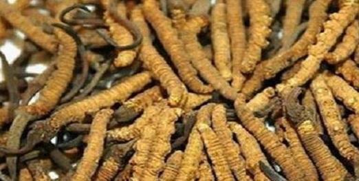 冬虫夏草的吃法和用量和禁忌,冬虫夏草的服用有没有什么讲究
