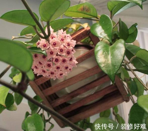 花型最奇特的盆栽,花香浓郁,一开就是几十朵,比绿萝吊兰还好养