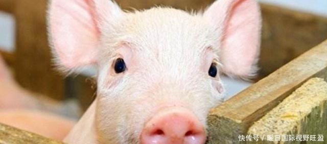 『值得』20年养殖经验的老农总结的养猪经验,准备养猪的农民值得学习