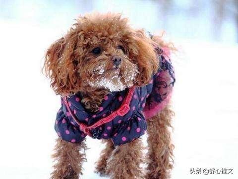 冬季养泰迪犬,很多宠主都会犯的5个错误,你错几个?