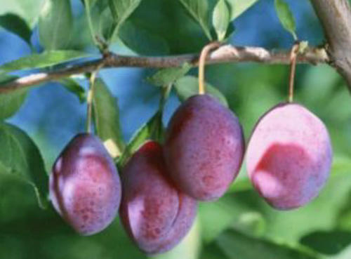 酸甜可口的西梅,营养丰富人称功能水果,如今是受欢迎的健康食品