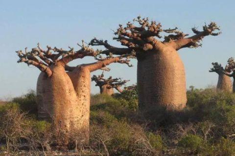 """非洲人民的""""生命之树"""",不仅能够取水喝,还能用来当房子住"""