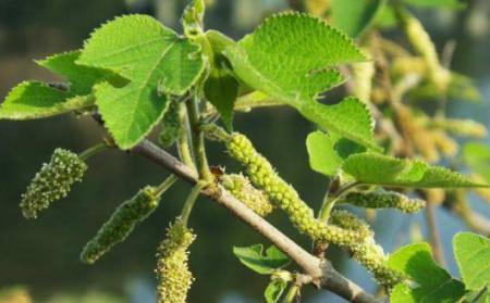 #极品#这种树农民看到就烦,它的花却是极品野菜,4月正吃,错过再等1年