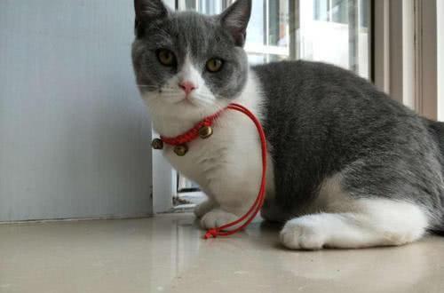肖战的猫上热搜了,这种品种的猫很罕见,很萌