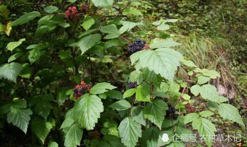 """这种植物,人称""""地黑泡"""",在民间颇有食用价值,请记下它"""