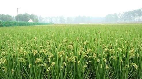 直播稻圣稻22哪个品种最好?