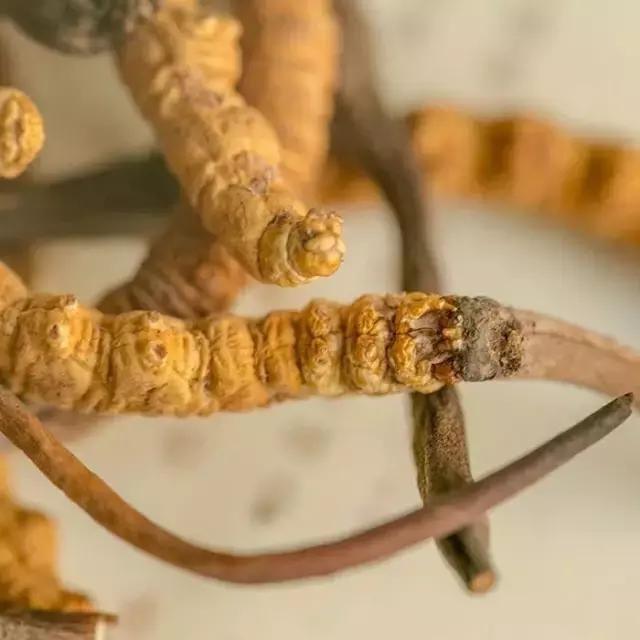 详解冬虫夏草调理胃病的功效!冬虫夏草对胃癌的抑制作用也明显