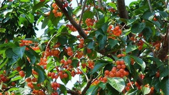 『生产区』过去不能吃的水果在生产区是滞销的,如南方可以负担得起