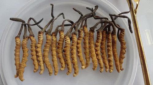 曾经很火的冬虫夏草为什么现在不属于保健品了?事实的真相没有那么简单
