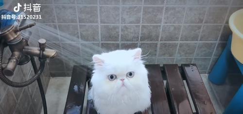 """""""猫生第一次洗澡""""就全程淡定 小白猫冷静被水冲:不可怕啊"""