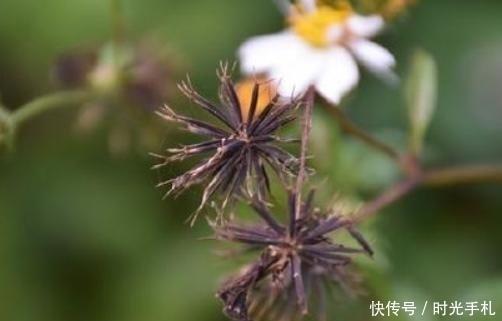 [肠炎]它是农民最讨厌的野草,入药清热治肠炎,调节血压作用大