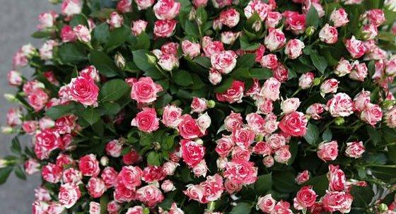 [挖现]鸳鸯泡泡玫瑰鲜切花种苗批发 四季常开月季小苗 现挖现发玫瑰花苗