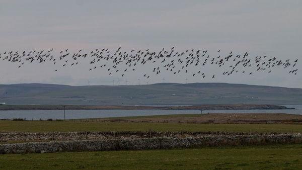 """苏格兰奥克尼群岛遭野鹅大规模""""入侵"""""""