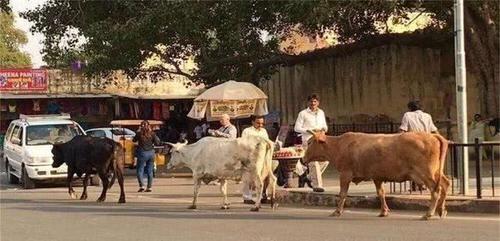 """印度""""神兽""""泛滥成灾,不能吃又不能杀,经常发疯袭击路人"""