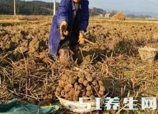 """这东西长在地上, 被称为""""江南人参"""", 可防癌抗癌"""