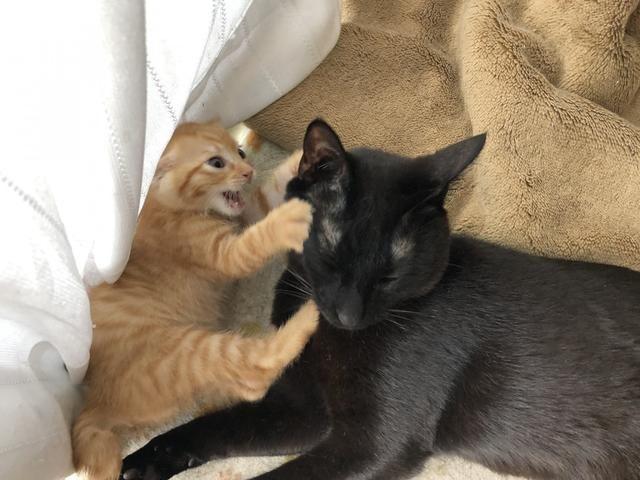 新猫到家第一天,主人担心小猫受欺负,结果发现大猫们沦陷了