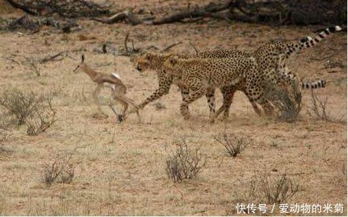 三只猎豹无聊调戏一只小羚羊,但当羚羊爸爸出现后猎豹立马就慌了