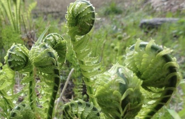"""[誉为]农村常见的野草,被农民们誉为""""养肝草"""",模样丑价值高"""