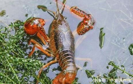 『养殖户』养殖一亩小龙虾就能赚3000元!但新手养殖户更应该关注这些问题!