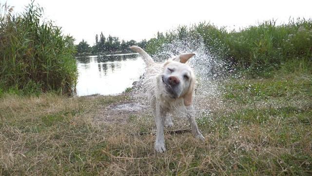 狗狗淋雨后全身变超臭,都说雨天不遛狗,为什么狗狗湿了会变臭?