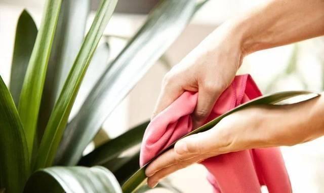 绿植@室内盆栽绿植的叶片上有露珠般的东西,摸起来黏黏的,啥情况