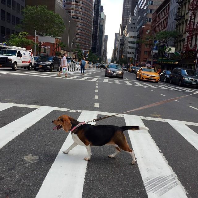 """狗狗看到""""移动物体""""就兴奋,如何制止这种行为?随行训练有必要"""