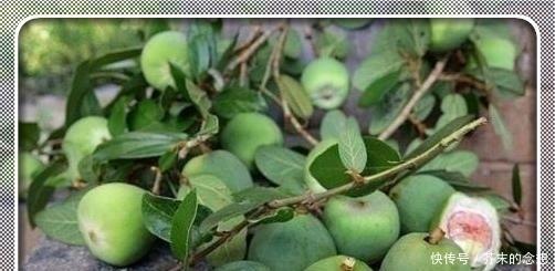 『肚子』它是水果却没有肉,整个肚子里全是籽,晒干后加水一搓变成果冻